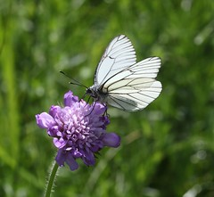 Black-veined White (Aporia crataegi) (iainrmacaulay) Tags: butterfly france blackveined white aporia crataegi