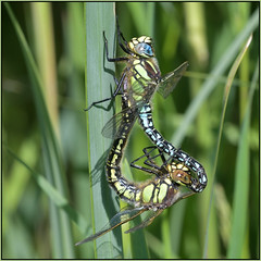 Hairy Dragonfly (image 1 of 2) (Full Moon Images) Tags: cambridgeshire fens insect macro mating hairy dragonfly