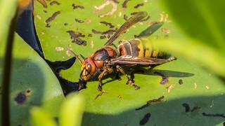 drinking hornet