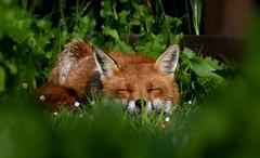 sleepy head (davy ren2) Tags: fox red sleeping nikon d500 nature photograthy wildlife vixen wild animal