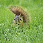 Squirrels in Ann Arbor at the University of Michigan (June 8th, 2018) thumbnail