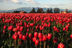 Skagit Valley Tulip Festival 2018 (Aneonrib) Tags: skagit valley tulip festival 2018 tulips flowers mount vernon wa sun april roozengaarde annual spring northwest county washington state landscape field flowrbed plant outdoor panasonic lumix red