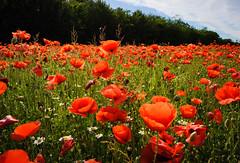 _AD16137_new (Antonio De Martis) Tags: altreparolechiave fiori papaveri