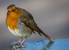 Watching me, Watching you (WrenMcCartney) Tags: canon600d travel adventure wildlife animal wild london robin