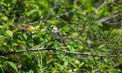 Chestnut- sided warbler (long.fanger) Tags: centreville chestnutsidedwarblerdendroicapennsylvanica virginia utilityeasementarea