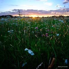 Soir (jpto_55) Tags: soir soleil coucherdesoleil fleur xe1 fuji fujifilm voigtlander15mmf45superwideheliarii voigtlanderlens hautegaronne france