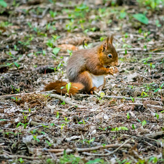 Squirrel (Romy Stills) Tags: squirrel écureuil gayeulles rennes france europe forest parc leaf food eat feed spring panasonic lumix g5 43 micro four thirds hybride mirrorless dmc