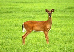 The profile picture. (irio.jyske) Tags: nature naturephoto naturepictures naturephotograph naturepic naturescape naturephotos naturephotographer naturepics natural animal capricom deer field grass grain colors brown white green beauty nice