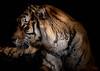 L'oeil du tigre (Fred LP) Tags: palmyrezoo tiger tigre portrait animaux animal france palmyre zoo