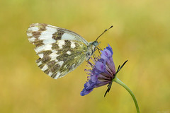 Eastern bath white (Darea62) Tags: easternbathwhite pontiaedusa pieris butterfly insect animal wildlife nature scabiosa wildflower flower wings