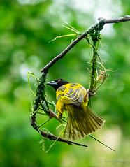 Nest building (JKmedia) Tags: chesterzoo villageweaverbird village weaver bird yellow building nest bokeh sonyrx10iii hoop ploceuscucullatus avian feathers tail beak green boultonphotography 2018
