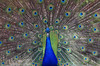 My eyes are on you! (myraemery) Tags: bird peacock blue feathers larmer tree salisbury wiltshire gardens canoneos70d