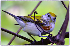 Chestnut sided Warbler (RKop) Tags: mageemarsh ohio raphaelkopanphotography d500 nikkor600f4evr 14xtciii warblers warbler wildlife
