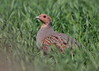 Grey Partridge (Martial2010) Tags: grey partridge angus canon