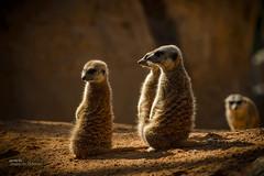 Watching (Oddiseis) Tags: valenciancommunity valencia bioparc museum spain animal suricata meerkat leicavarioelmarr8020040 nature leitax