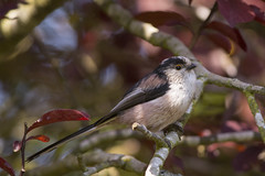 Long-tailed Tit (krystennewby) Tags: bird nature long tailed tit cute spring springwatch