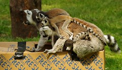 Lemurs (2) (Simon Dell Photography) Tags: lemurs playing with old box egg yorkshire wildlife park doncaster uk england spring day images high res animals zoo captive rare wild life simon dell photography tog 2018 may sunny cute babys young lots funny awesome
