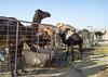 Camels in a farm in the desert, Dhofar Governorate, Wadi Dokah, Oman (Eric Lafforgue) Tags: agriculture animalthemes arabia arabianpeninsula aridclimate camel camels colorimage day desert dhofar domesticanimals farm gulfcountries heat horizontal livestock mammal middleeast nature nopeople oman oman18431 outdoors sultanate wadidokah dhofargovernorate