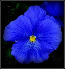 Natural Wonder (dimaruss34) Tags: newyork brooklyn dmitriyfomenko image flower pansy