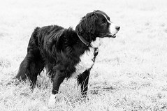 Mali (Captain192) Tags: dog dogs collie spaniel spanielcolliecross sprollie bordercollie bw stand standing grass