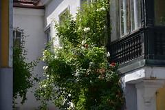 Eisenstadti müürililled (anuwintschalek) Tags: nikond7200 18140vr austria burgenland eisenstadt kevad frühling spring tänav strasse street lilled müürililled blumen flowers mauerblümchen roosid roniroosid rosen roses