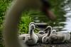 Protective parent (PChamaeleoMH) Tags: birds centrallondon london stjamesspark swans cygnets