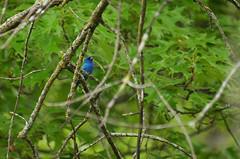 Indigo Bunting (U.S. Fish and Wildlife Service - Midwest Region) Tags: bunting nature 2018 mn park frontenac bird birding indigobunting may seasons minnesota perching spring wildlife animal