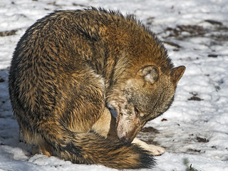 Wolf grooming in the snow