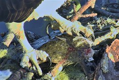 Steve celebrates with flounder for all 2018-06-03 05-32-50-812 (selro4me) Tags: ospreycams osprey raptor birdofprey fisheagle fishhawk nest eggs steve rachel island maine bailey hogisland audubon bremen usa