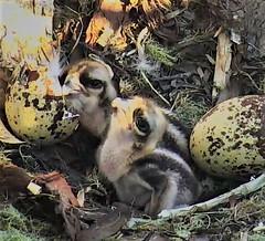 Osprey chicks at Hog Island waiting for Flounder breakfast  2018-06-03 05-35-17-093 (selro4me) Tags: ospreycams osprey raptor birdofprey fisheagle fishhawk nest eggs steve rachel island maine bailey hogisland audubon bremen usa