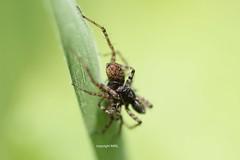 Lycosiden-Paarung (Phil Arachno) Tags: schwanheimer düne hessen germany deutschland chelicerata spider spinne arthropoda lycosidae
