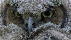 Great Horned Owlet (photosauraus rex) Tags: owlet bird greathornedowlet vancouver bc canada