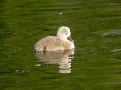 P5270192 (turbok) Tags: höckerschwan schwäne tiere vögel wildtiere c kurt krimberger