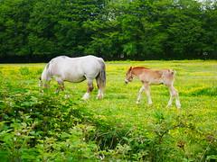 Menez meur parc animalier (ElviShSpiriT) Tags: menezmeur menez meur parc animalier animaux vache cheval mouton forêt nature verdure vert champ prairie