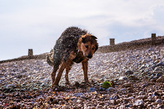 Soggy Doggy Loves Balls (andrewhitmanphotography) Tags: dog dogge doggy cutedog dogs dogoftheday dogball ball beach seaside sea stones pebbles wetday wet shake drying dryoff beachfun animal animals goodboy wetdog