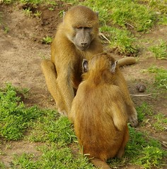 Baboon (9) (Simon Dell Photography) Tags: baboon baboons monkeys cute funny babys young male female adults yorkshire wildlife park doncaster uk england spring day images high res animals zoo captive rare wild life simon dell photography tog 2018 may sunny detail