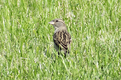 "Female House Sparrow • <a style=""font-size:0.8em;"" href=""http://www.flickr.com/photos/157241634@N04/41702638084/"" target=""_blank"">View on Flickr</a>"
