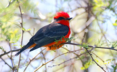 Vermilion Flycatcher -- Male (Pyrocephalus rubinus);  Oro Valley, Arizona, Sunset Park [Lou Feltz] (deserttoad) Tags: nature arizona animal bird wildbird flycatcher red desert shadows