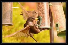 """Starling chicks afledge... and ravenous...!!!"" (NikonShutterBug1) Tags: nikond7100 tamron18400mm birds ornithology wildlife nature spe smartphotoeditor birdfeedingstation bokeh starling fledgling chick wingwednesday birdsfeeding 7dwf"