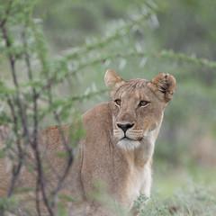 Lioness. (annick vanderschelden) Tags: lionesses lion lioness cat mammal wildlife animal nature savannah bush grassland southernafricanlionesses etoshanationalpark grass trees africa southernafrica female head namibia