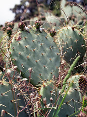 180606_img756 (SephRademakers) Tags: bronicazenzaetrsi bronica zenzanonpe75 120mmfilm mediumformat kodakektar100 provence chevalblanc sainthilaireancienneabbaye france opuntia snails plants cactus