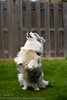 Watching it go (Kenjis9965) Tags: sigma50mmf14dgex cardigan welsh corgi outside playing ball purple resting blue merle beautiful sunlit having fun bouncing jumping canon eos 7d mark ii panting tongue out sitting up running after sigmalux sigma 50mm f14 ex dg hsm
