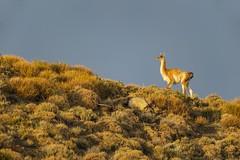Golden Light Guanaco (Glatz Nature Photography) Tags: chile glatznaturephotography nature nikond5 patagonia southamerica torresdelpainenationalpark wildanimal wildlife guanaco goldenlight animal mammal camelid sky