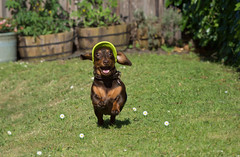 My Baby Maisie (cuppyuppycake) Tags: mymaisie smooth haired miniature dachshund puppy cute adorable maisie portrait dog animalblack background