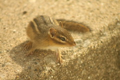BABY CHIPPY! (Doctor Beef) Tags: chipmunk chipmunks chippies