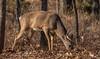 Birthday buck (Lindell Dillon) Tags: buck whitetail deer wildlife nature oklahoma rut fall crosstimbers wildoklahoma