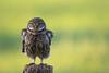 What????!!! (jacobsfrank) Tags: steenuil uil owl littjeowl nikon nikond5 frankjacobs jacobsfrank flickr natuur nature bird vogel