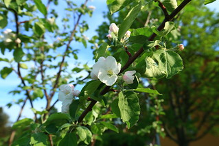 Apple trees in blossom_2018_05_23_0009