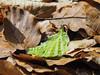 Buchenblatt / Beechleaf (A.Dragonheart) Tags: makro nahaufnahme natur nature outdoor blatt leaf grün green braun brown wasser water wassertropfen waterdrop buche fagus beech