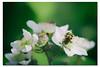 trichie fasciée (Des.Nam) Tags: insecte coléoptère macro proxy desnam nature fleur d800 nordpasdecalais nikon pdc 105mmf28 couleur wonderfulworld